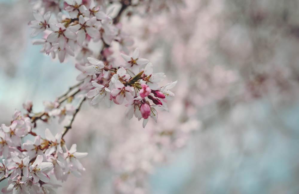cherryblossoms.jpg-