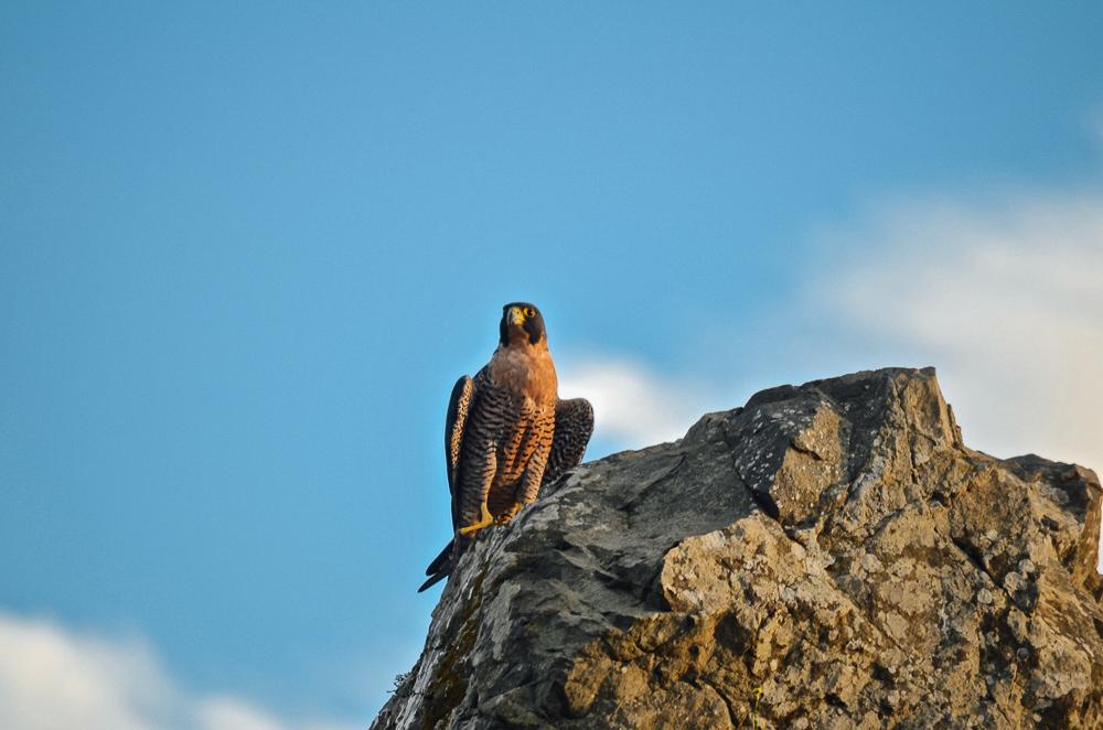 falcon1-
