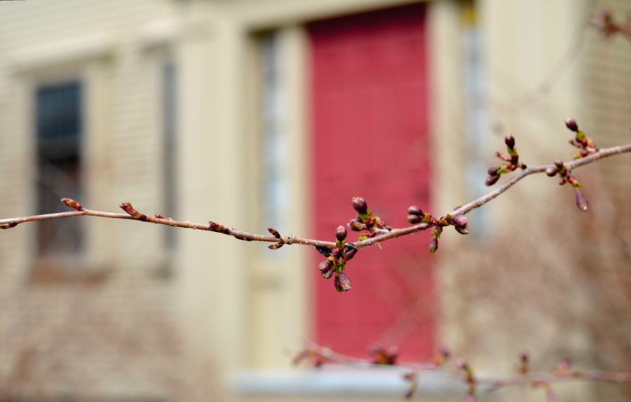 red buds-2